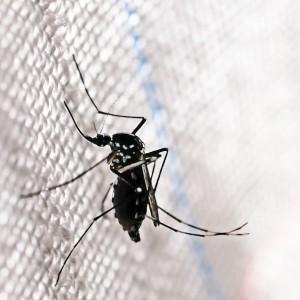 Aedes albopictus Zika